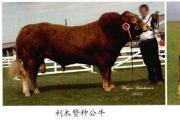 利木赞牛简介 利木赞牛品种特点解读